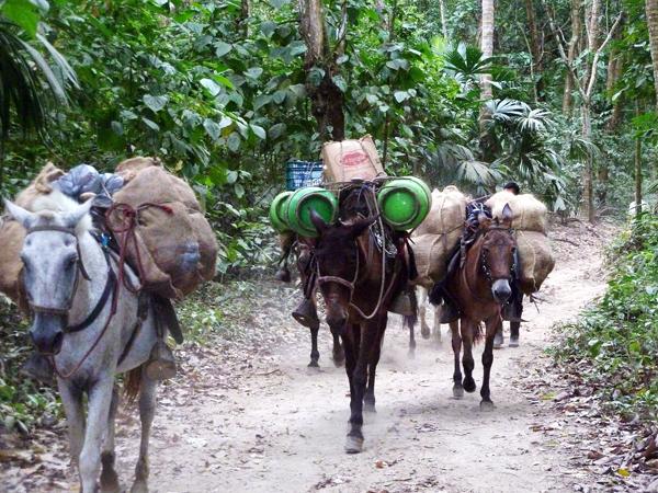 Heavy-laden donkeys walking through a rainforest in Colombia.