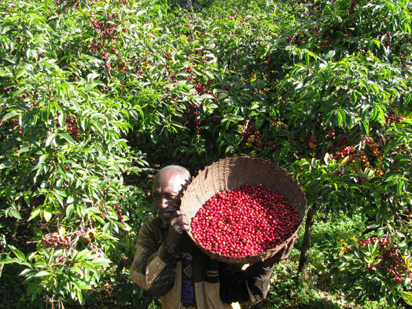 Man carrying a large basket of coffee berries.